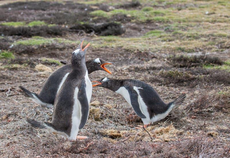 Pinguini di Gentoo immagine stock