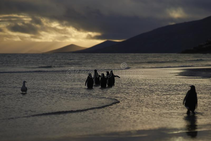 Pinguini di Gentoo che vanno al mare su Falkland Islands fotografia stock libera da diritti