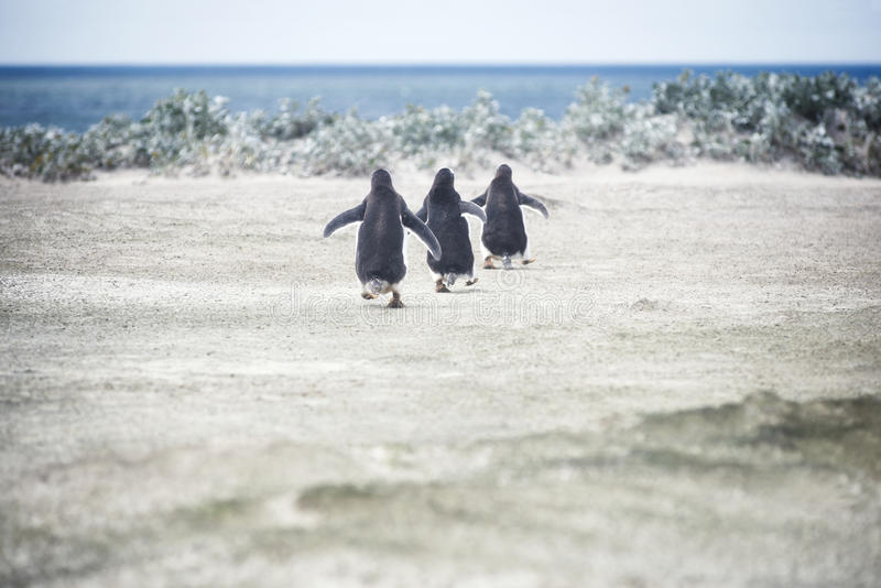 Pinguini di Gentoo che vanno per una nuotata al punto volontario fotografia stock