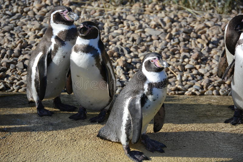 Pinguini di Humboldt immagini stock