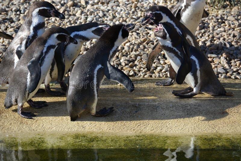 Pinguini di Humboldt fotografia stock libera da diritti