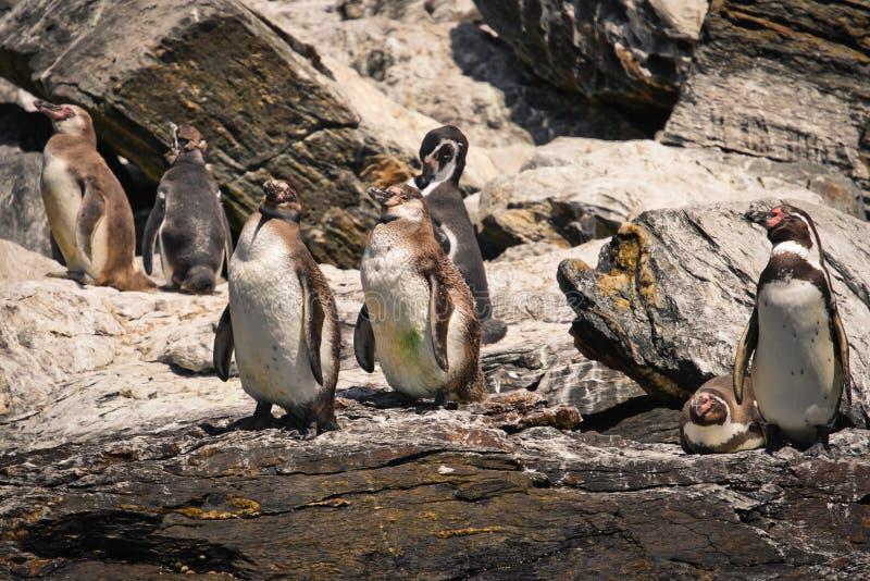 Pinguini di Humboldt su una roccia immagini stock