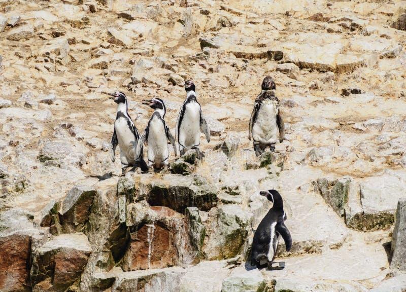 Pinguini di Humboldt sulle isole di Ballestas nel Perù fotografia stock libera da diritti