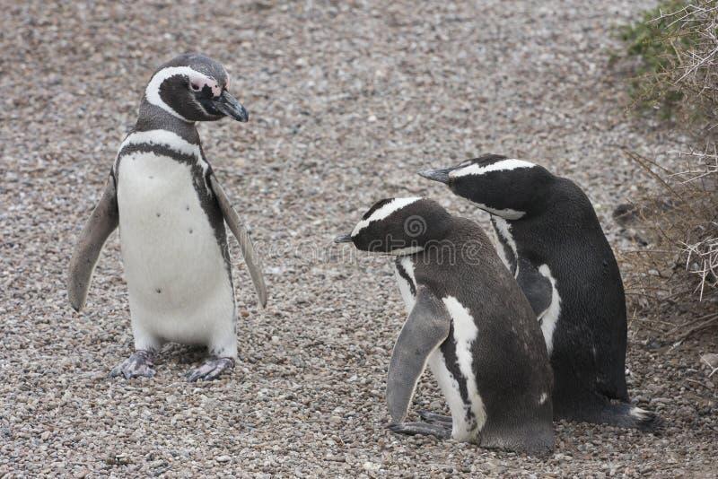Pinguini di Magellanic fotografia stock