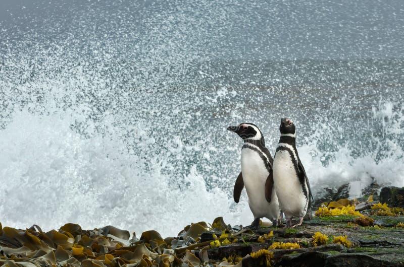 Pinguini di Magellanic che guardano oceano tempestoso fotografia stock libera da diritti