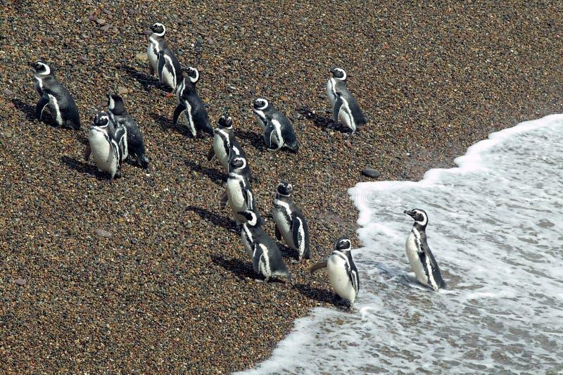 Pinguini di Magellanic che lasciano l'Oceano Atlantico fotografia stock libera da diritti