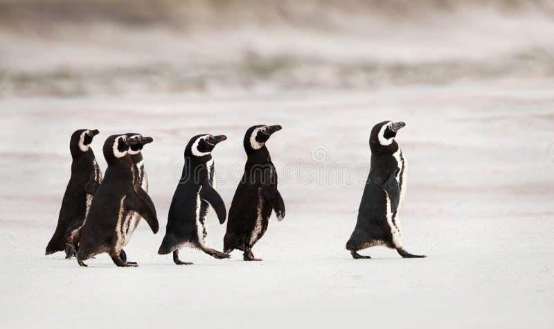 Pinguini di Magellanic che si dirigono fuori al mare per pescare fotografia stock
