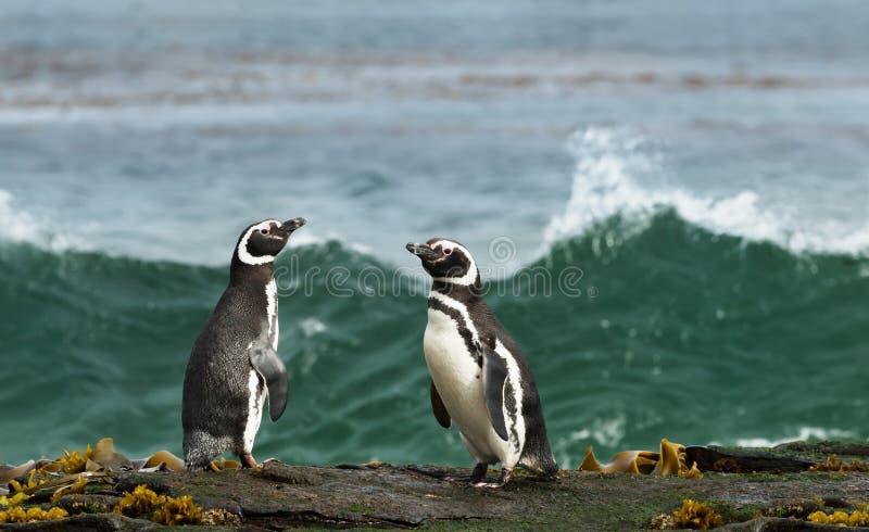 Pinguini di Magellanic che stanno su una riva e su un oceano tempestoso di sorveglianza immagine stock