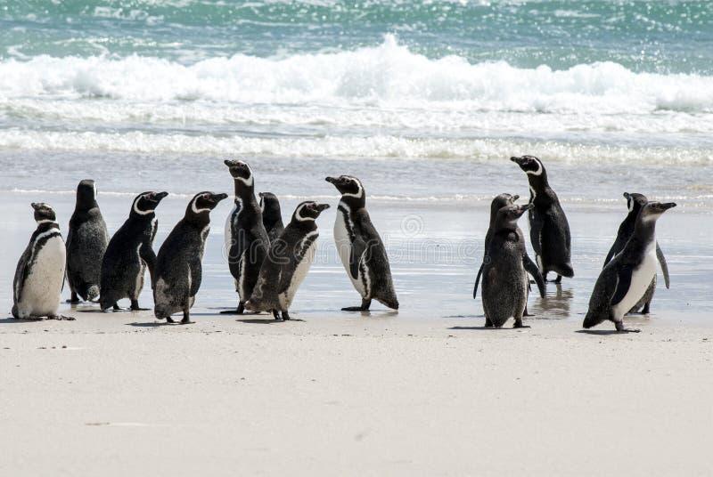 Pinguini di Magellanic - di Falkland Islands sulla spiaggia immagine stock libera da diritti