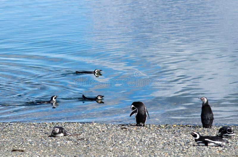 Pinguini di Magellanic (magellanicus dello Spheniscus) sull'isola di Martillo fotografie stock