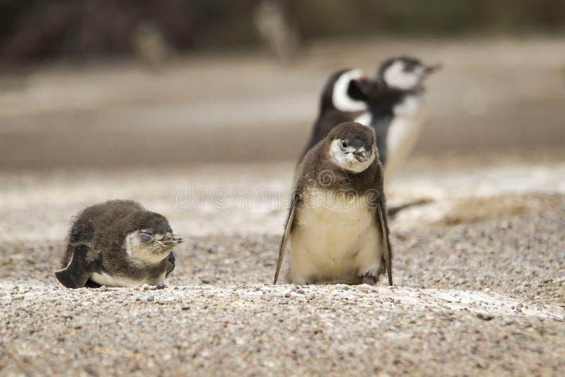 Pinguini di Magellanic nella colonia del pinguino fotografie stock