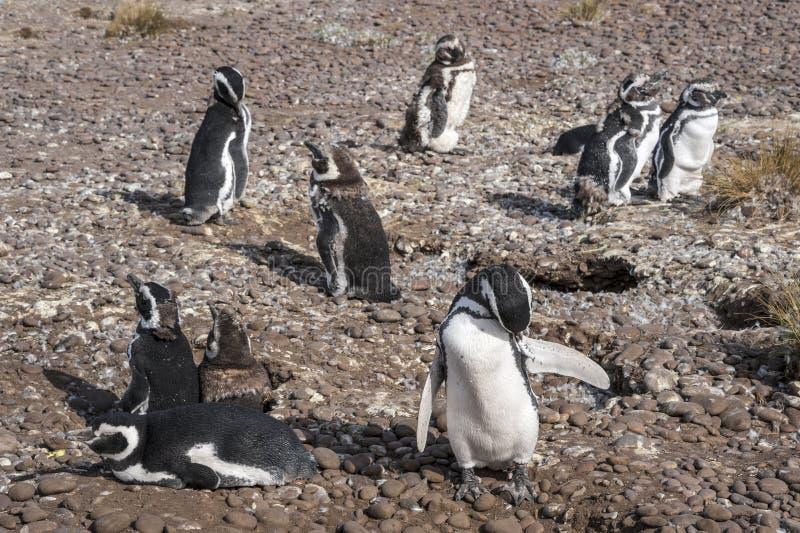 Pinguini di Magellanic, primo mattino a Punto Tombo immagini stock libere da diritti