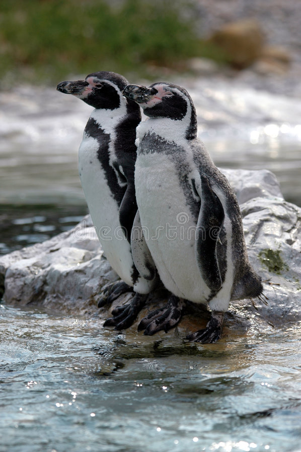 Pinguini di riposo immagine stock