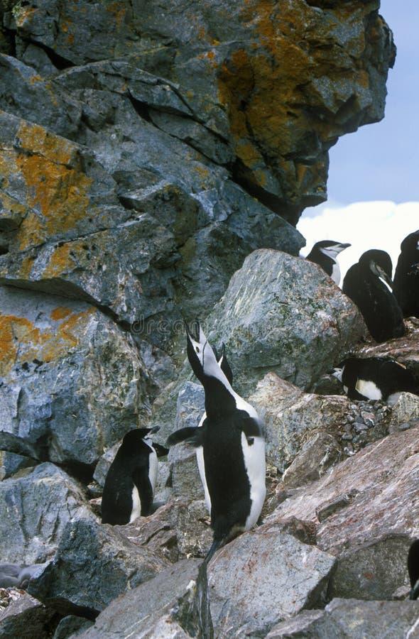 Pinguini di sottogola (pygoscelis antarctica) sull'isola della mezza luna, stretto di Bransfield, Antartide fotografie stock libere da diritti