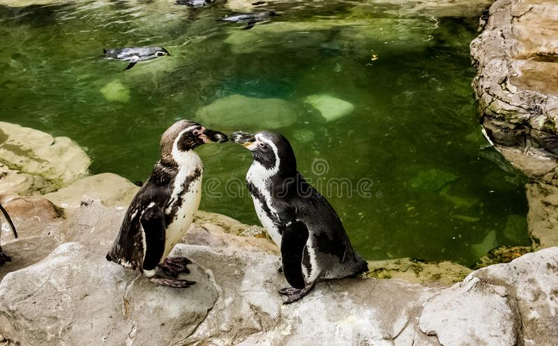 Pinguini faccia a faccia fotografia stock