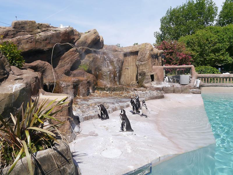 Pinguini nella loro area dello zoo fotografia stock libera da diritti