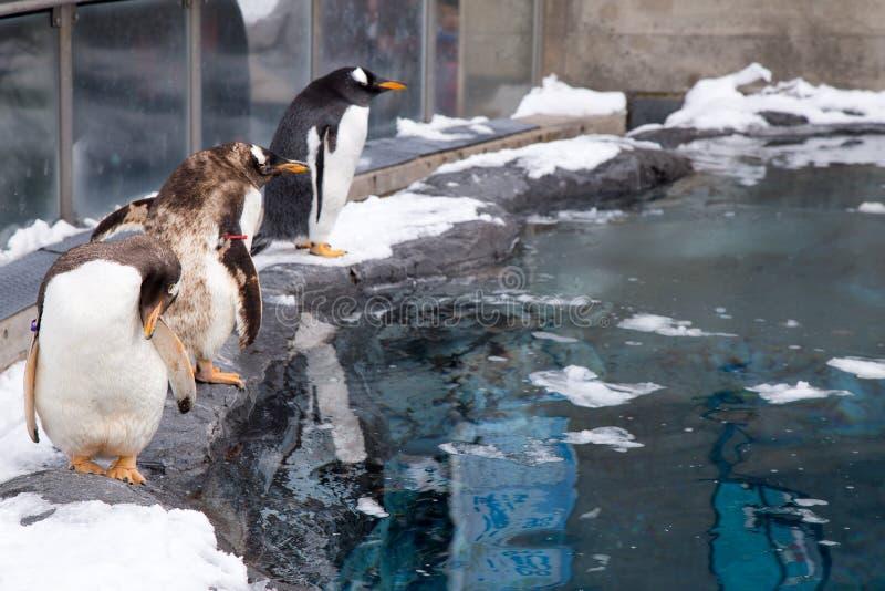 Pinguini nello zoo di Asahiyama, Giappone fotografia stock