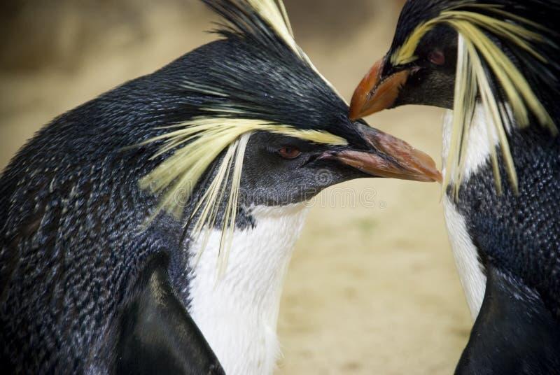 Pinguini orientali di Rockhopper fotografia stock