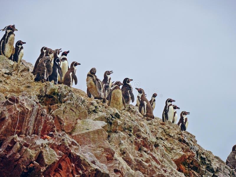 Pinguini in Paracas, Perù fotografie stock