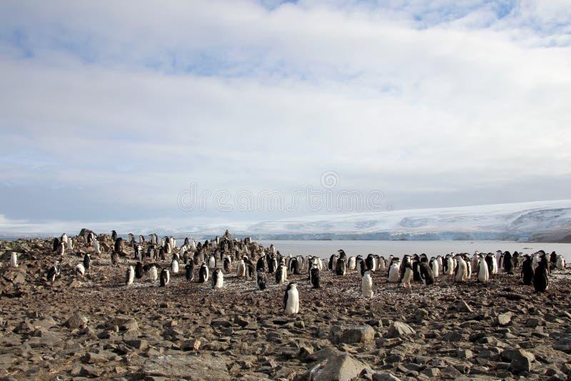 Pinguini selvaggi di sottogola, Antartide fotografia stock
