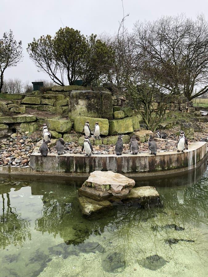 Pinguini in uno zoo fotografia stock libera da diritti