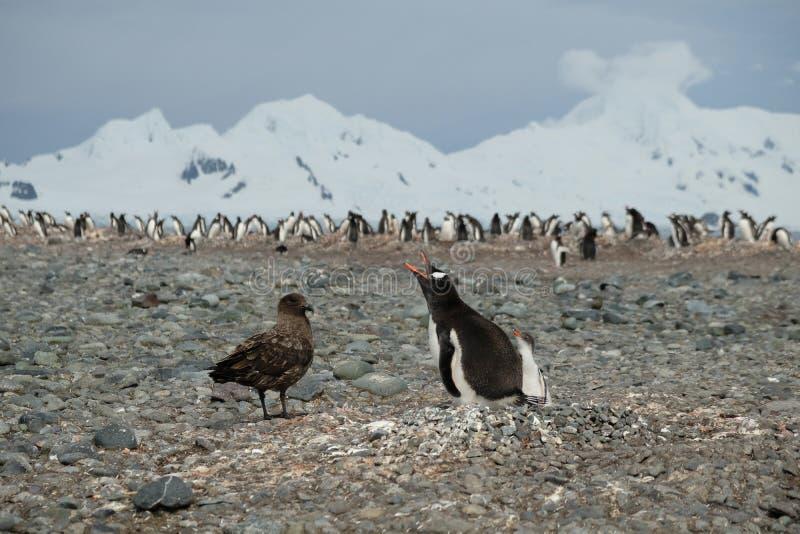 Pinguinküken Pinguins der Antarktis Gentoo Verteidigungsvon der Raubmöwe lizenzfreie stockbilder