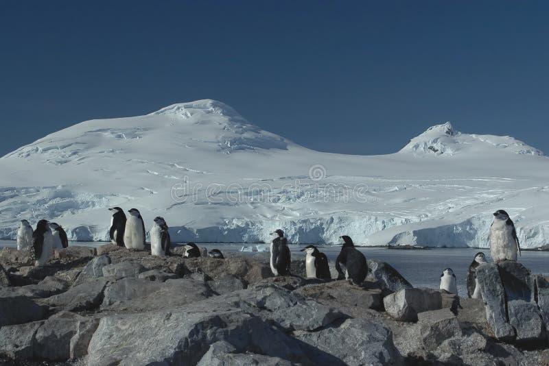 Pinguinkolonie stockfotos
