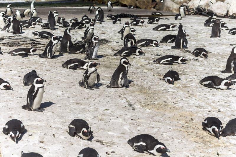 Pinguinkolonie in Betty-` s Bucht, Südafrika stockfotografie