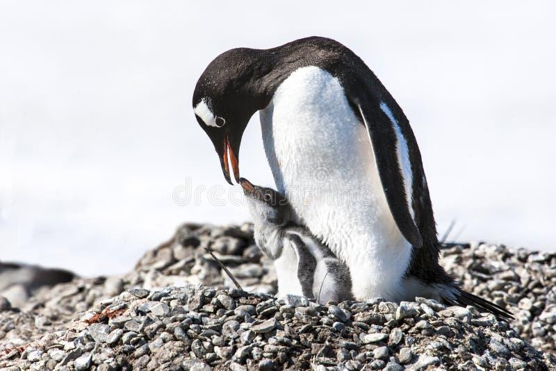 Pinguinmutter, die das Küken - gentoo Pinguin speist lizenzfreie stockfotografie