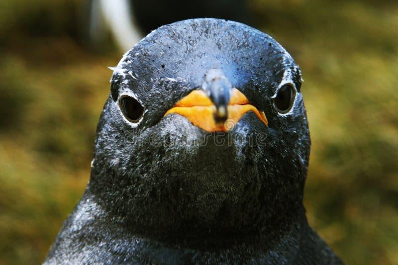 Pinguinnahaufnahme lizenzfreie stockfotografie