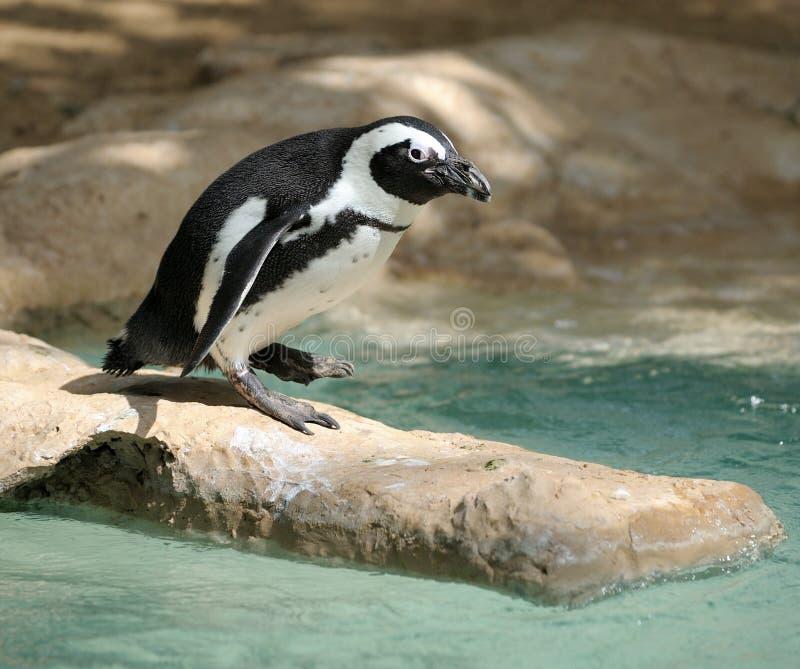 Pinguino fotografia stock libera da diritti