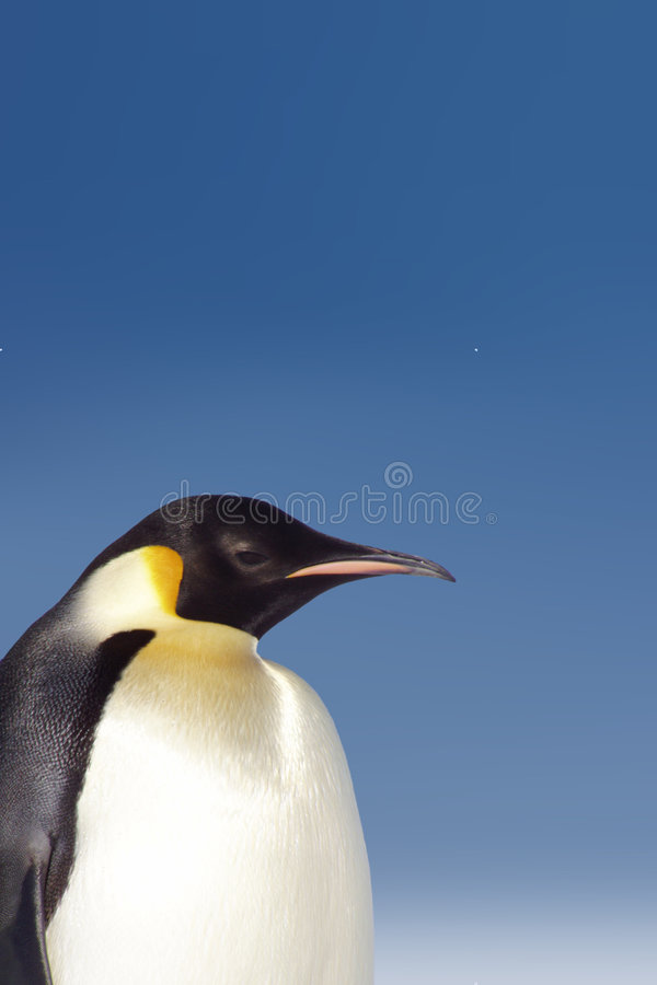 Pinguino immagini stock
