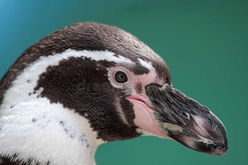 Pinguino immagini stock libere da diritti
