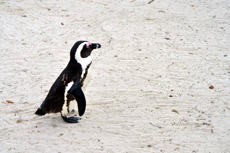 Pinguino africano alla spiaggia dei massi immagini stock libere da diritti