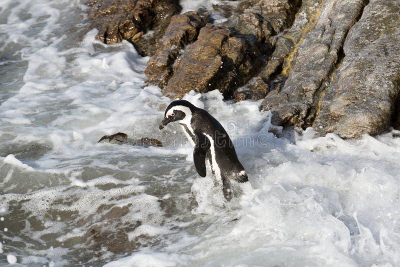 Pinguino africano che sta su una roccia Sudafrica immagini stock