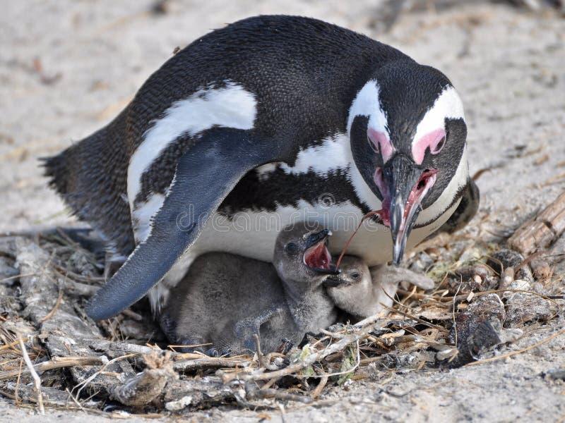 Pinguino africano ed i sui pulcini immagini stock libere da diritti