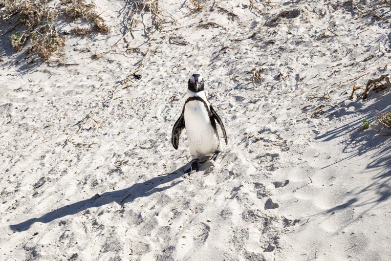 Pinguino alla spiaggia immagine stock