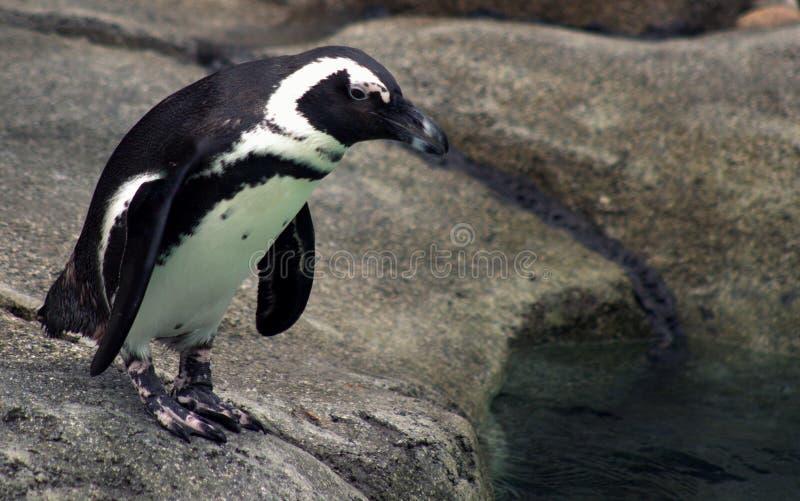 Pinguino allo zoo fotografie stock libere da diritti