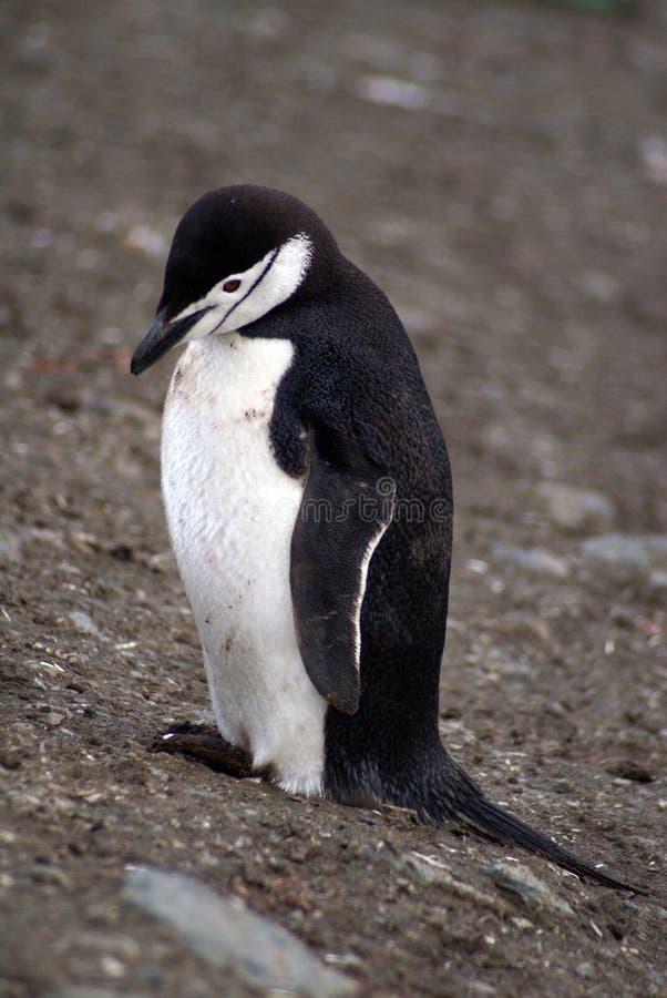 Pinguino in Antartide immagine stock libera da diritti
