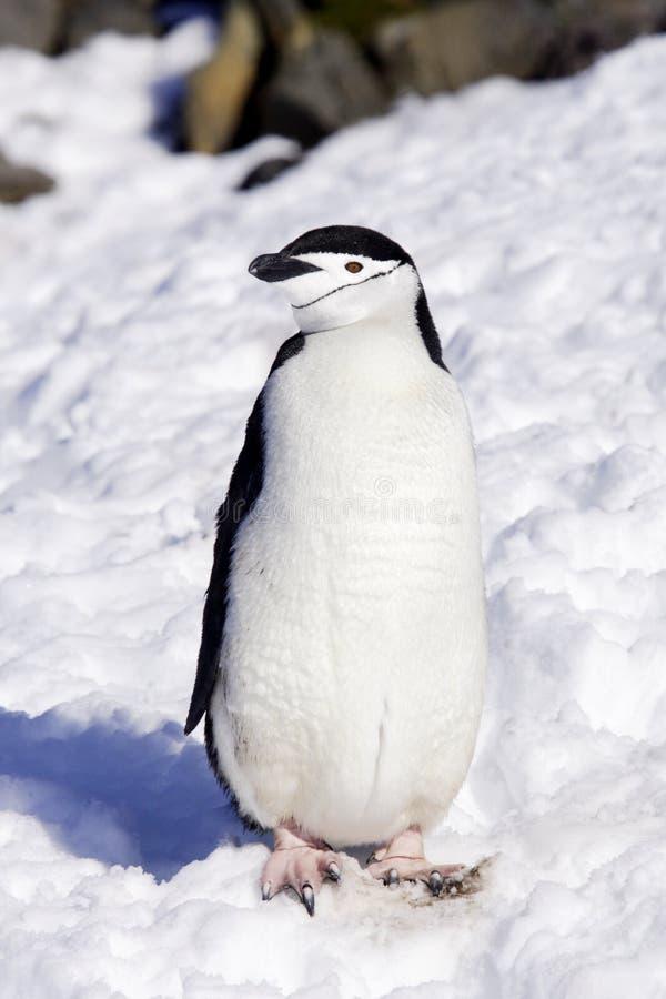 Pinguino Antartide di Chinstrap fotografia stock libera da diritti