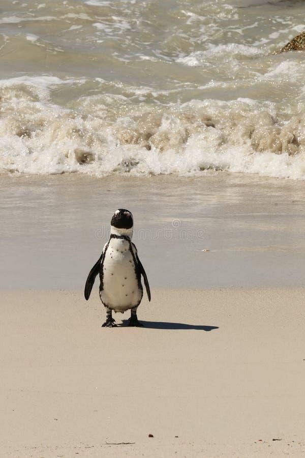 Pinguino che ritorna da una nuotata fotografia stock libera da diritti