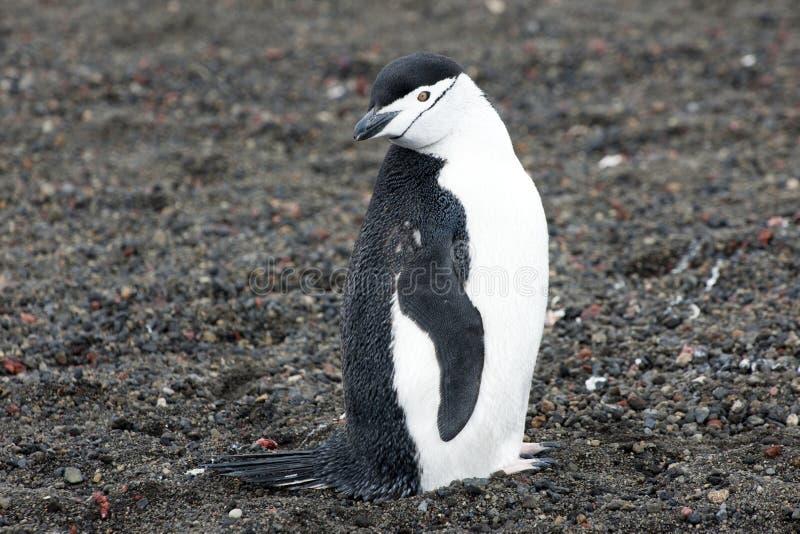 Pinguino - chinstrap - Pygoscelis Antartide fotografia stock