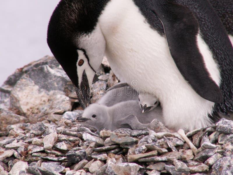 Pinguino con due pulcini immagine stock