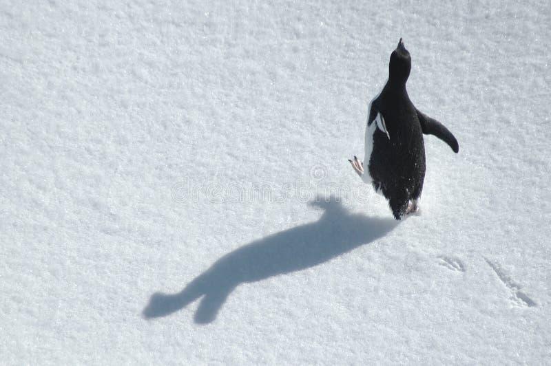Pinguino corrente fotografie stock libere da diritti