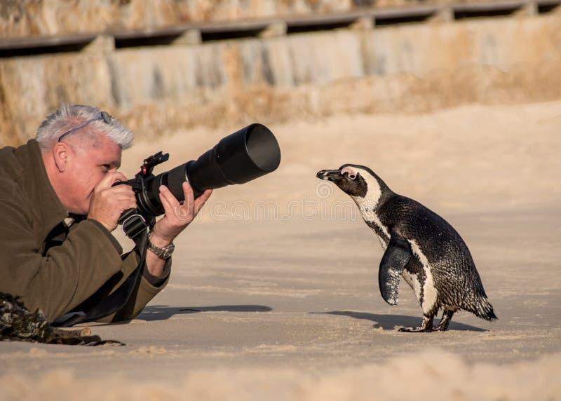 Pinguino curioso fotografie stock
