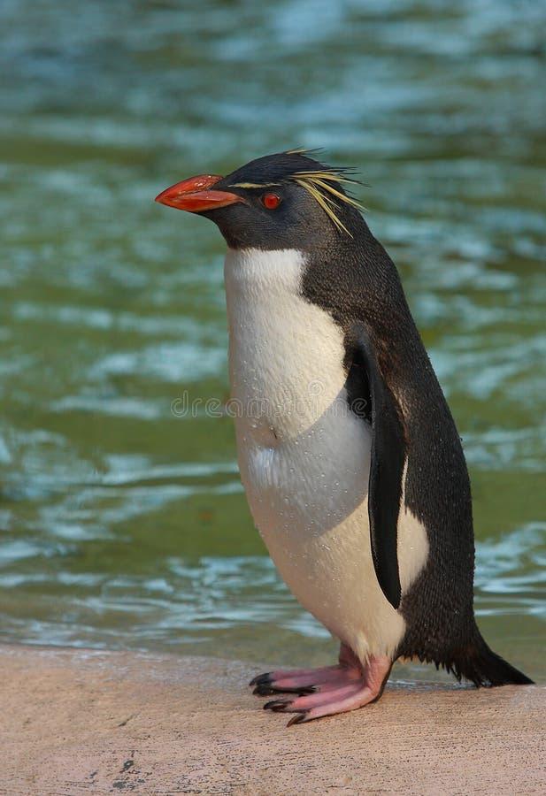 Pinguino dei maccheroni fotografia stock