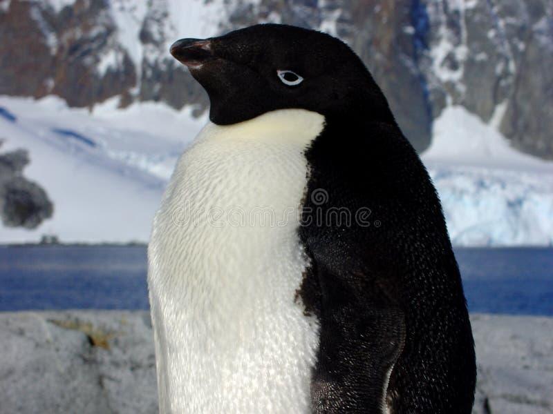 Pinguino del Adelie immagini stock