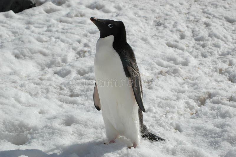 Pinguino del Adelie immagini stock libere da diritti