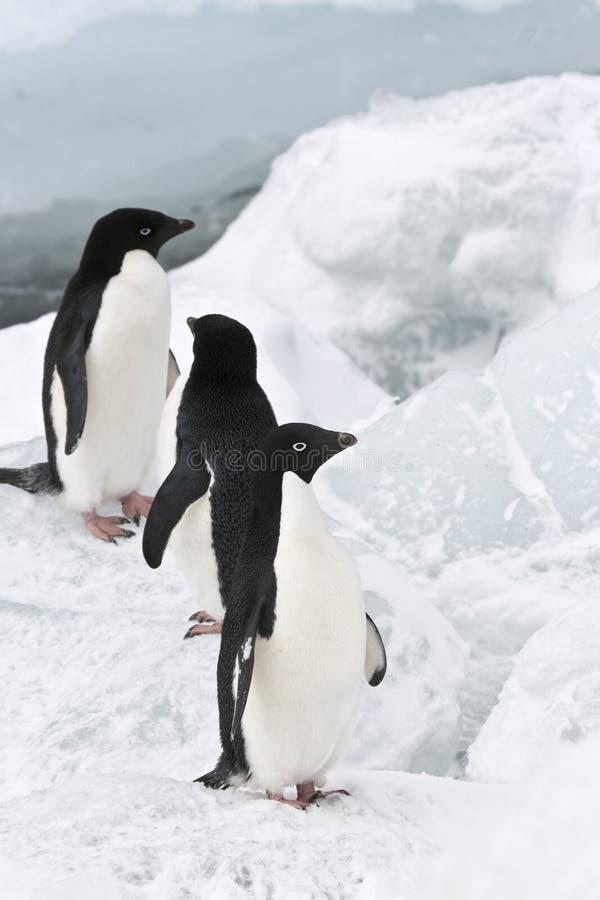 Pinguino del Adelie (adeliae del Pygoscelis) fotografia stock