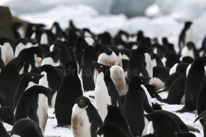 Pinguino del Adelie (adeliae del Pygoscelis) immagini stock